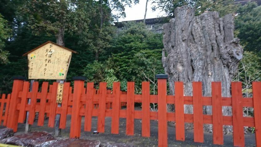 鶴岡八幡宮の大イチョウ