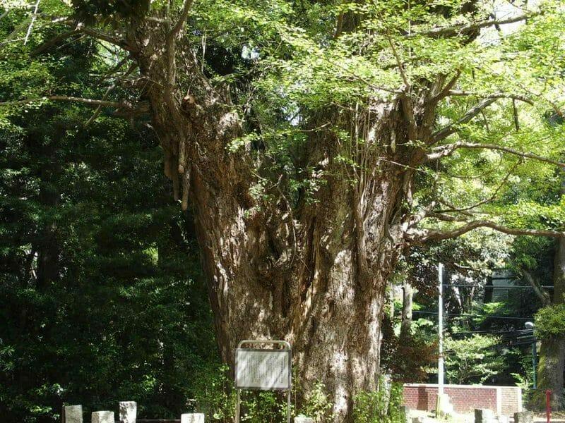 赤坂氷川神社の大いちょう