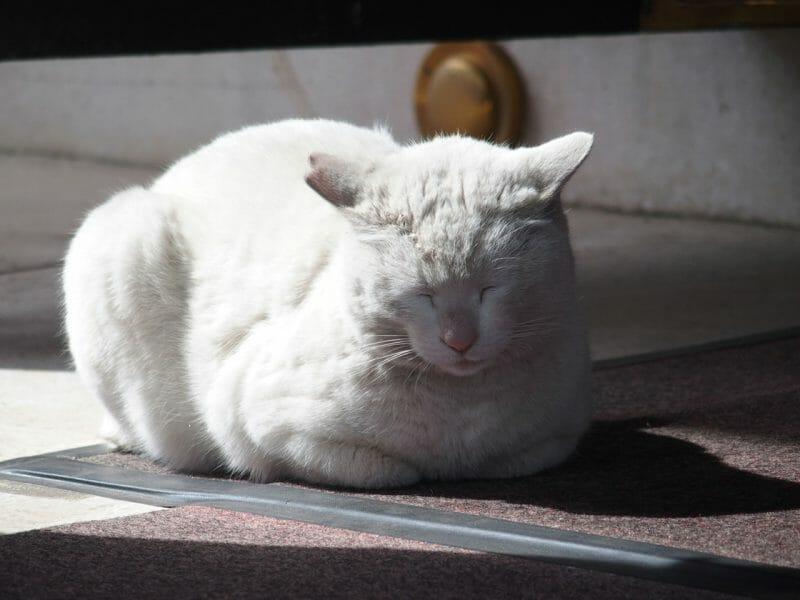 浅草の今戸神社に現れる神猫ナミちゃんは待ち受け画像として人気