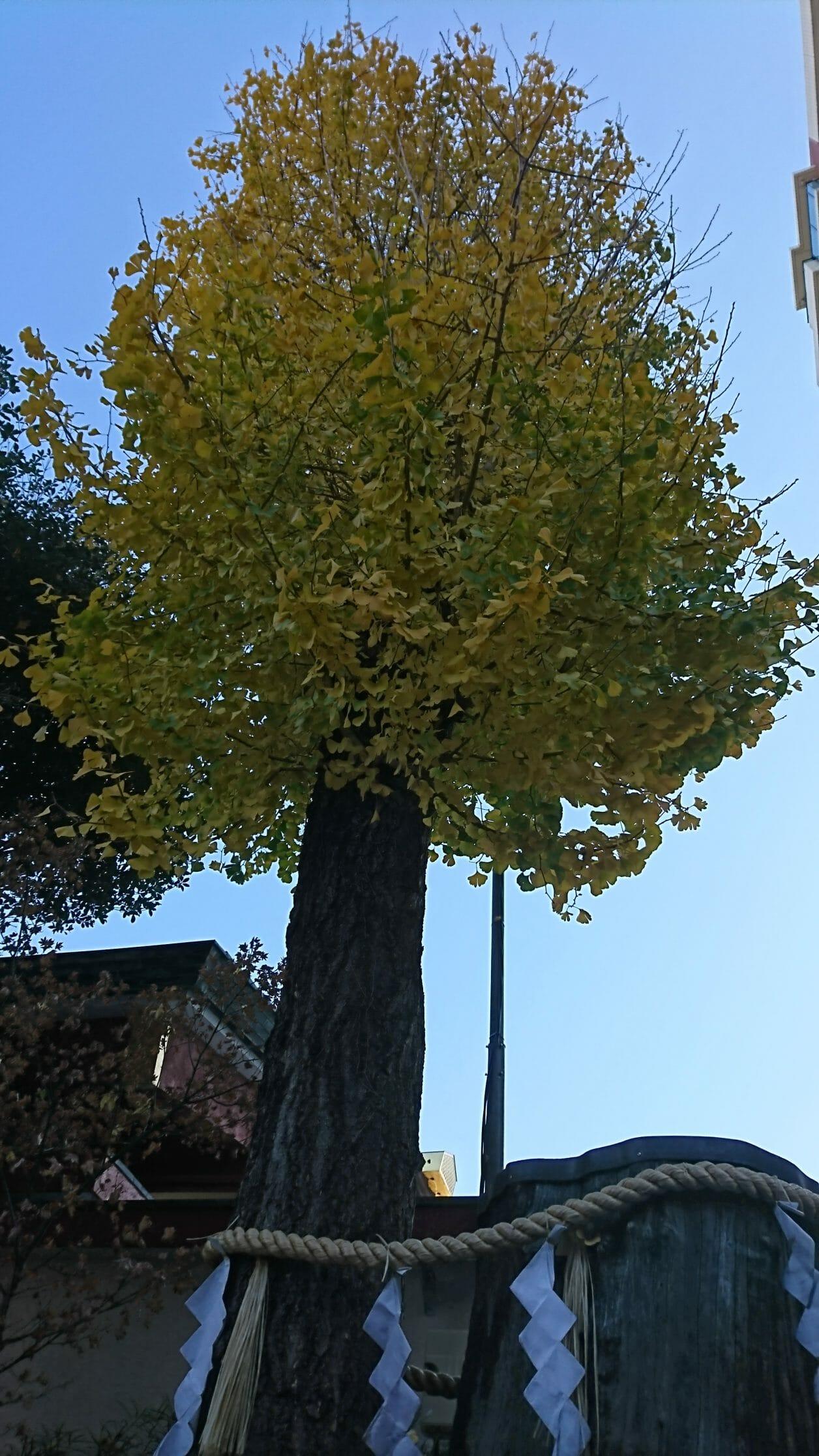 神田明神で男坂のすぐ近くにあるご神木の公孫樹