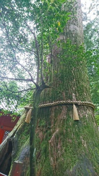 箱根神社で安産のご利益がある安産杉