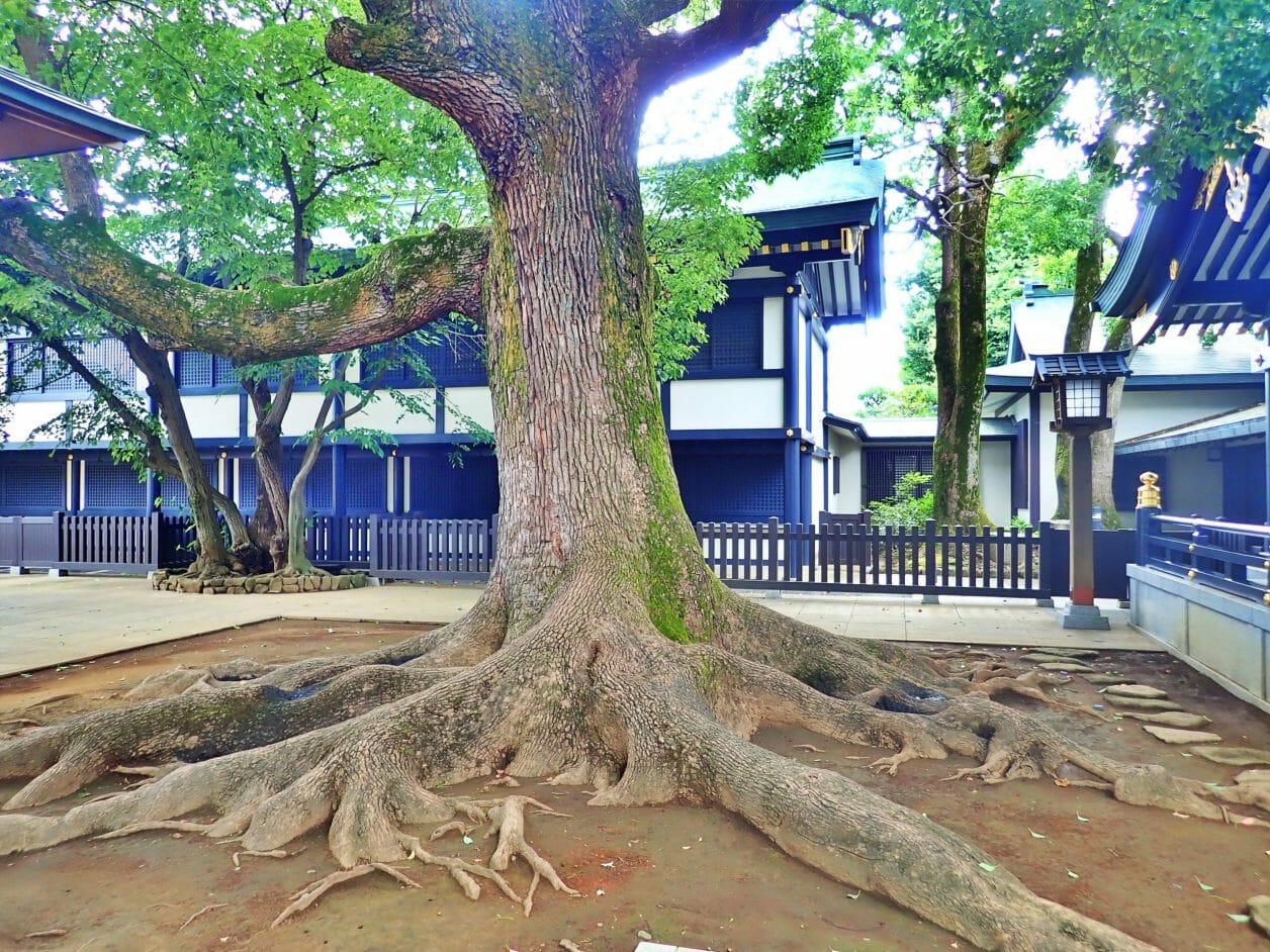 穴八幡宮のご本殿の前の神木
