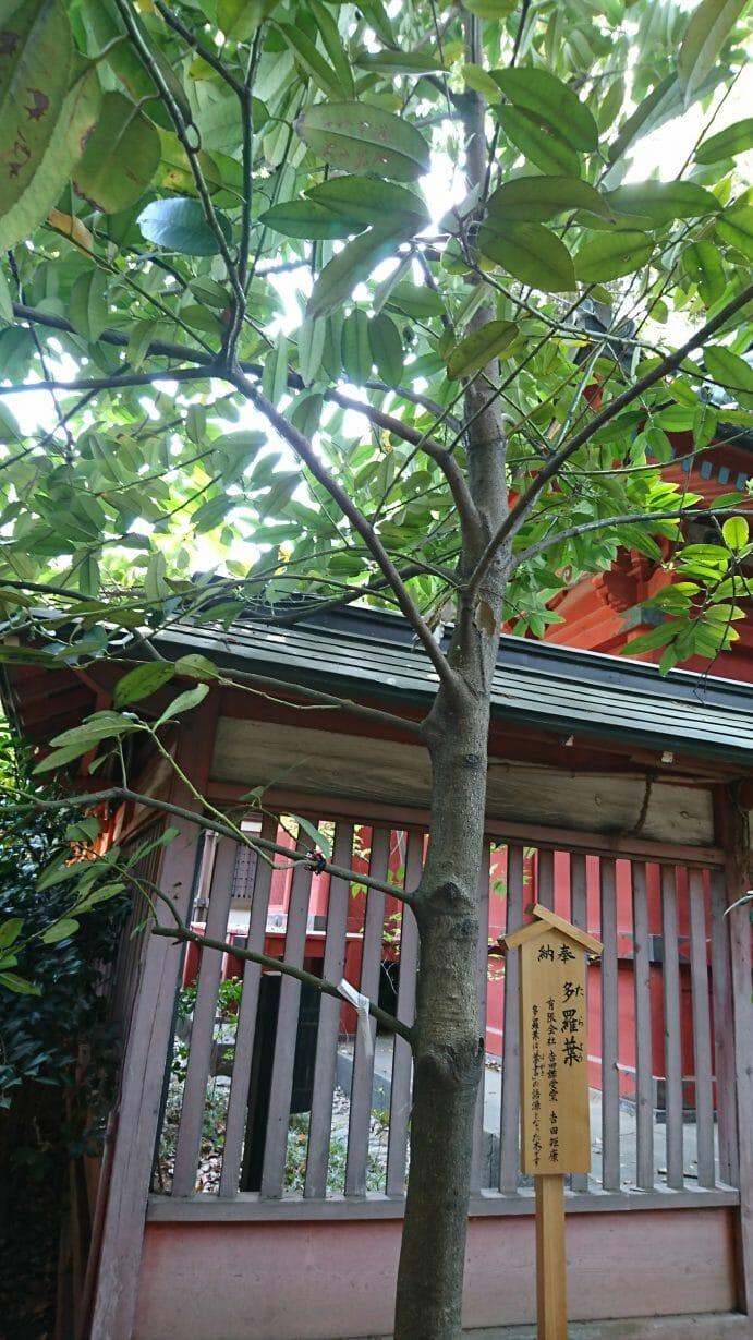 川越氷川神社にある葉書の名前の語源になったと言われる多羅葉の木