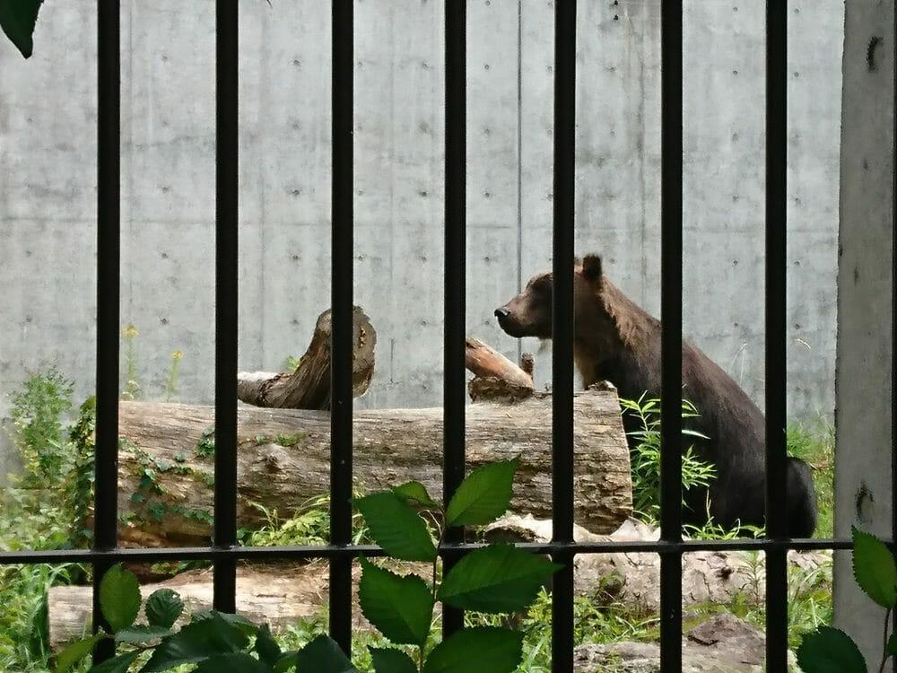 円山動物園のエゾヒグマ