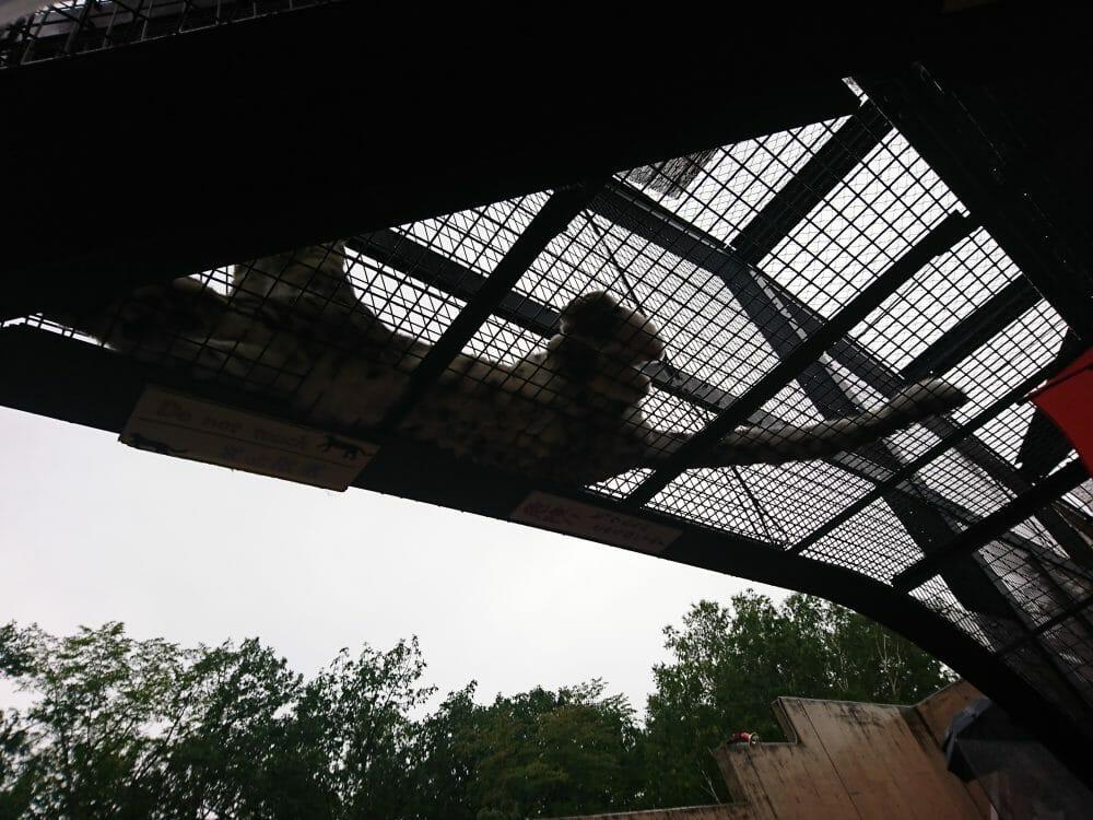 旭山動物園のユキヒョウ