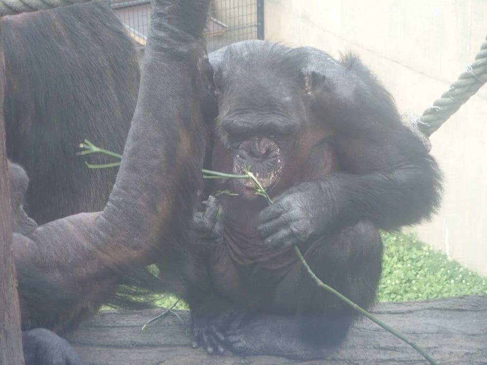 旭山動物園のチンパンジー