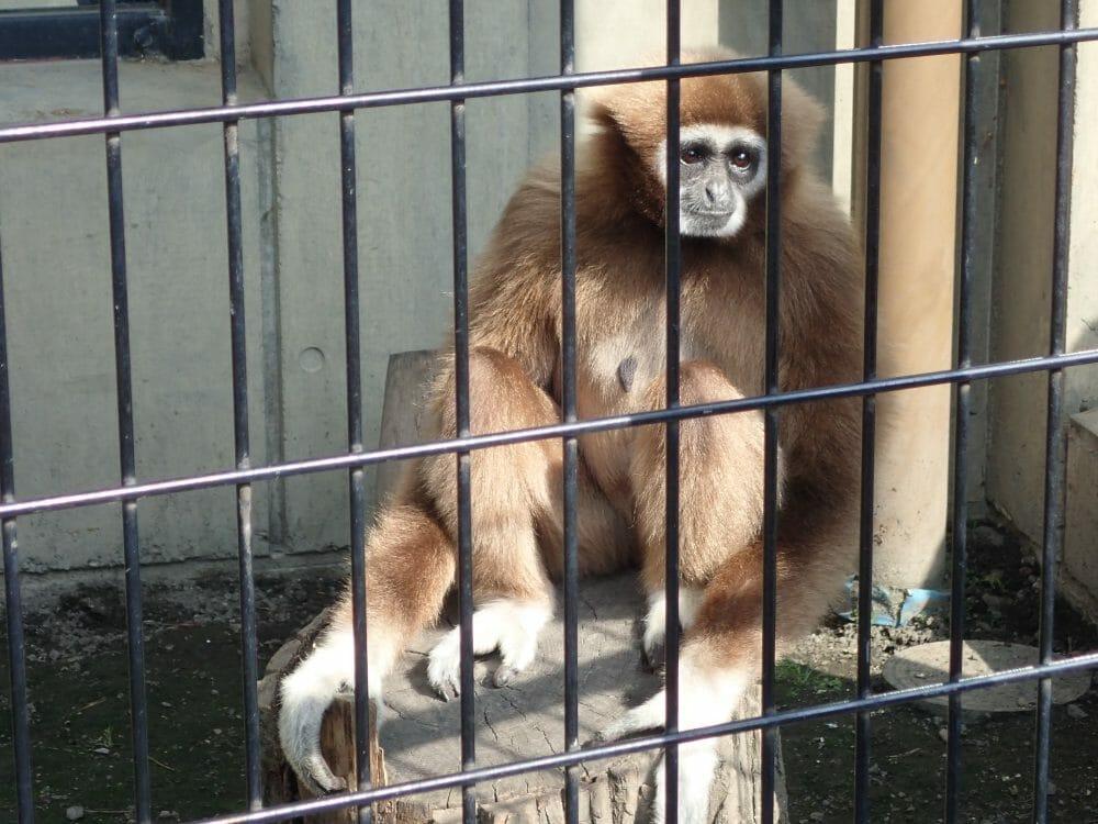 旭山動物園のテナガザル