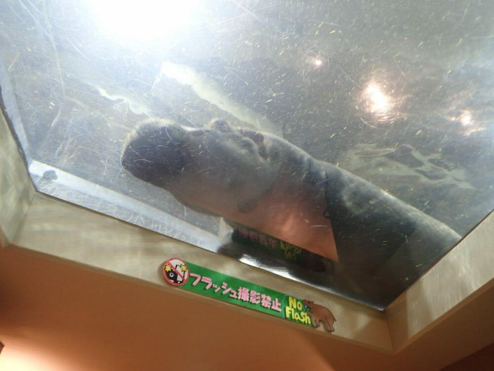 旭山動物園のカバ