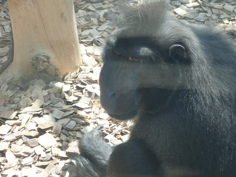 円山動物園のクロザル