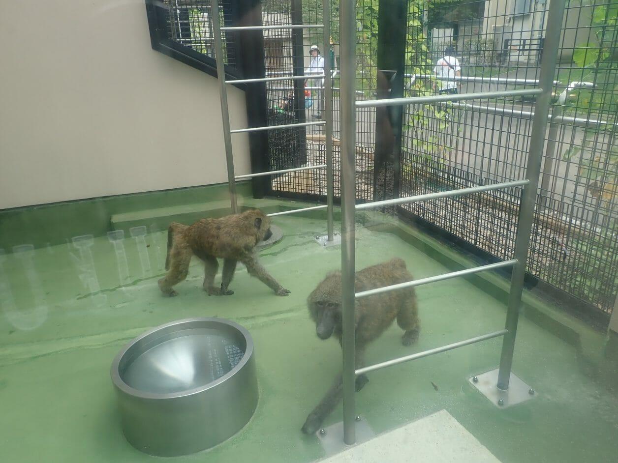 円山動物園のドグェラヒヒ