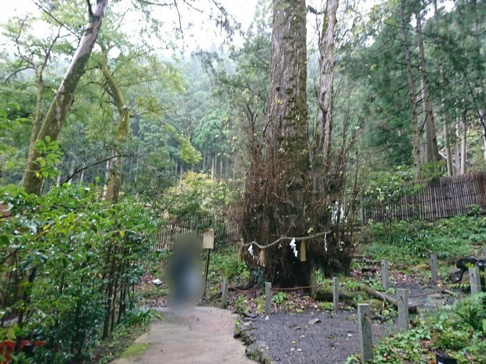 貴船神社・中宮にあるご神木の桂の木