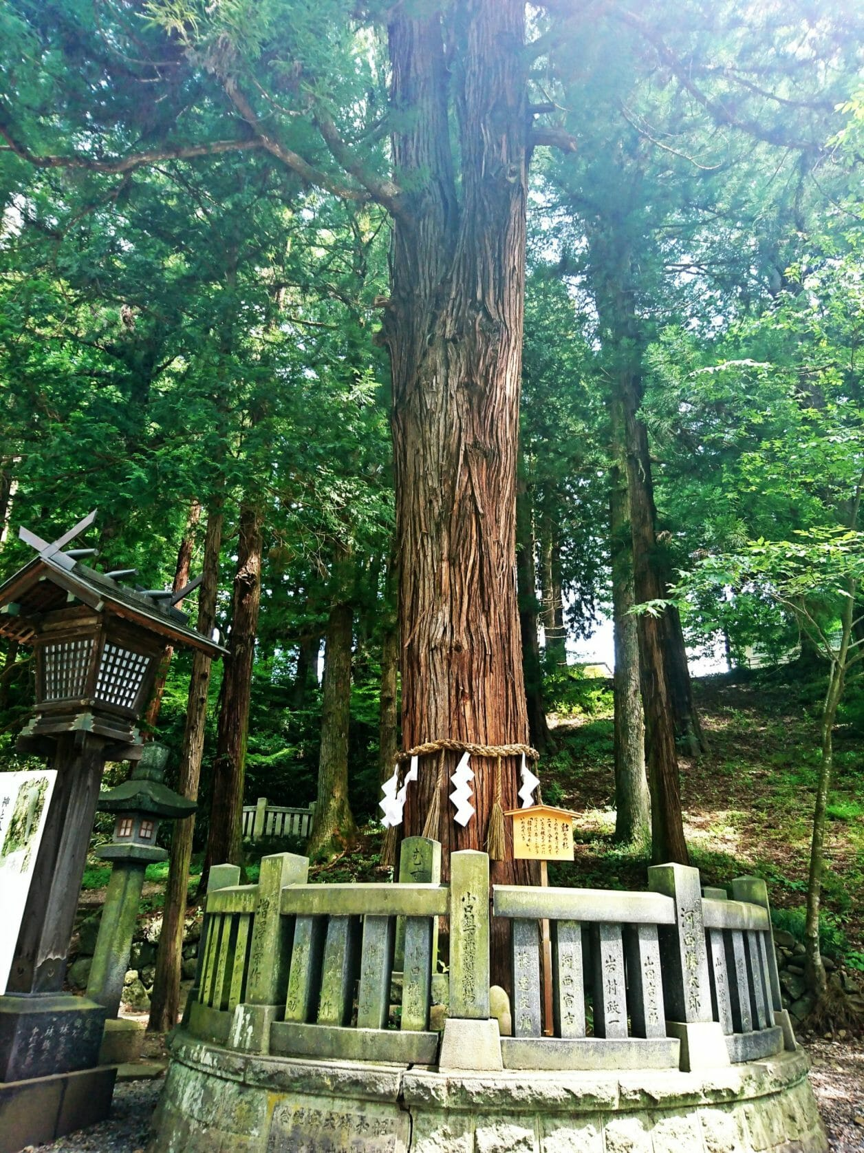 諏訪大社下社春宮の結びの杉