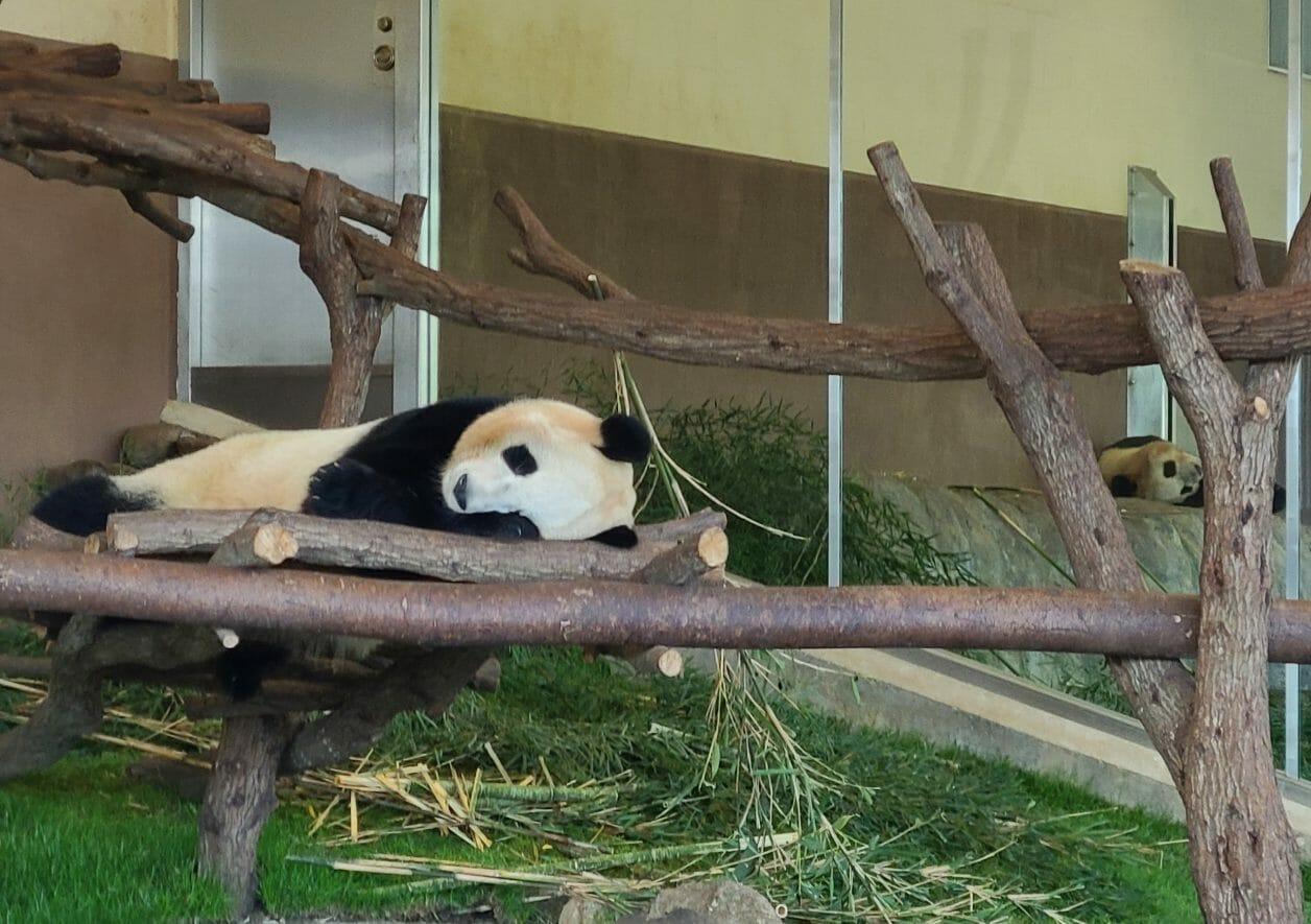 南紀白浜のアドベンチャーワールドのパンダ